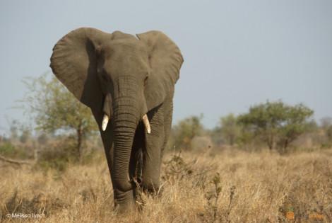 Lis_Elephant