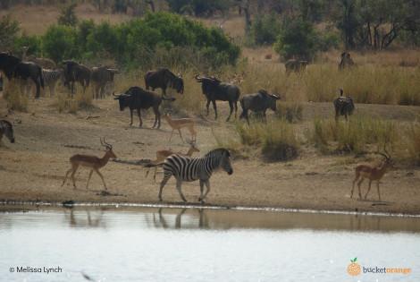 Zebra Impala Buffalo_Lis