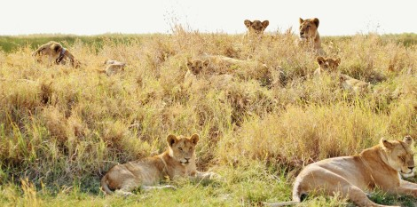 lions-278365_1920 copy