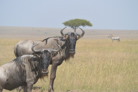 wildebeests-322094_640