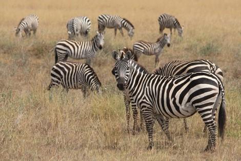 zebra-625153_640