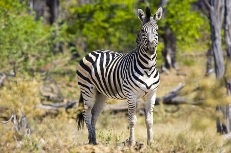 zebra-722151_640